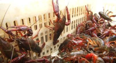 为了让你吃上放心小龙虾,武汉1年抽检120批次,都检查了些啥?
