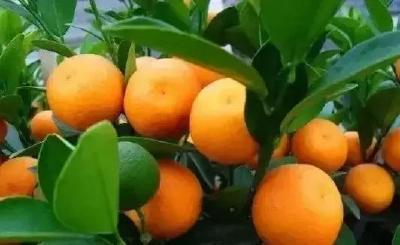 【柑橘】柑橘树势太弱易黄化、衰退;太旺,成风景树难结果!究竟咋办?