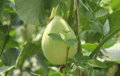【甜瓜】温室种植甜瓜的高产技巧,肥水管理要到位,温度、光照要掌控
