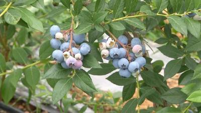 蓝莓界个头大赛过一元硬币,学霸回乡种植400亩,一斤卖30多元,带动乡邻家门口就业