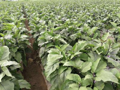 茄子生长关键期施肥技术!施足底肥是获得高产的基础