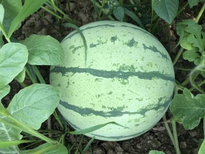 【水果行情】6月17日:湖北西瓜通货价格0.40-2.20元/斤,甜瓜通货价格1.30-1.43元/斤(仅供参考)