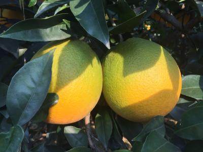【脐橙】种植脐橙要想提高树苗成活率?先做好这六个要点!