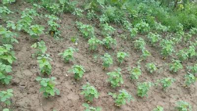 种植大豆可以使用哪些植物生长调节剂?