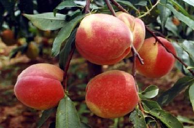 【桃子】桃树树势衰弱、长势差是啥原因?找出差别应该怎么变