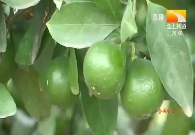 柑橘如何安全度过高温天气?专家们说的你都做到了吗?