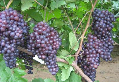 【葡萄】葡萄月子肥很重要!明年的营养就全靠今年的施肥啦