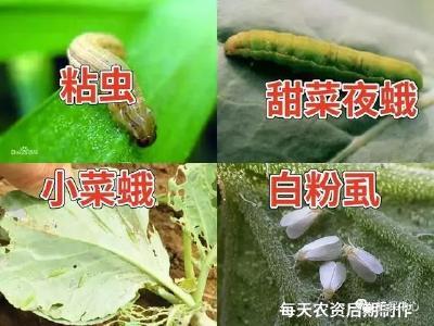 既能杀虫又能杀卵,对红蜘蛛还有效,适合虫螨同时发生时使用