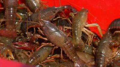小龙虾居然能用地下水进行养殖,不仅不缺营养一年还赚十几万!真的可行吗?