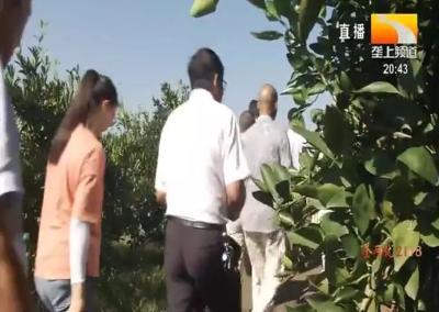 """啥情况?湖北柑橘""""减肥""""后,储存时间竟增加10天,种植效果如何?"""