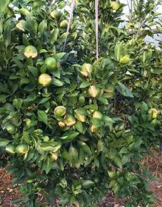 【柑橘】柑橘进入了果实膨大期,裂果问题随之而来,对症下药有效预防