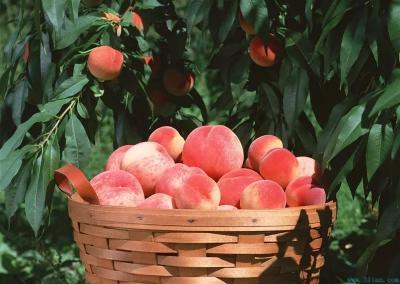 【桃子】以桃树控旺为例!谈谈果树树势调整与秋施基肥