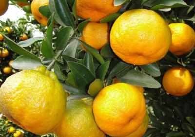 【柑橘】做好椪柑炭疽病的预防工作!加强修剪,注意间伐