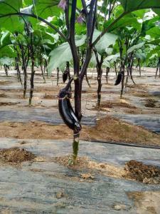 立秋之后,蔬菜管理攻略!做好田间防涝和温室防雨