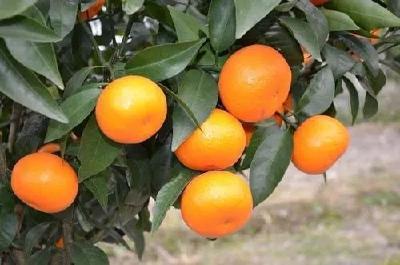 【柑橘】9月柑橘要严防落果和裂果,重点调控好秋稍,还要防治病虫害