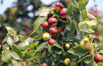 【枣树】炎炎夏日,6大措施促进果树花芽分化!保证连年丰产稳产