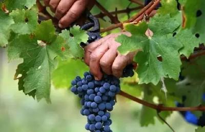 【葡萄】葡萄采后管理不上心?来年一堆问题等着你!