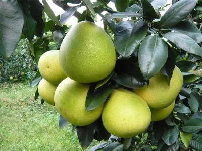 【柚子】小心氮肥施用过多,造成柚子贪青晚熟