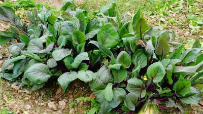红菜苔种植时间和方法!它的种植效益如何