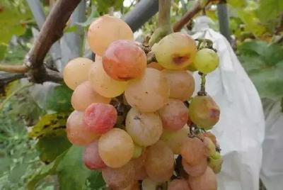 【葡萄】葡萄遇上这些生理性病害,要怎么防治?缩果、日灼、裂果