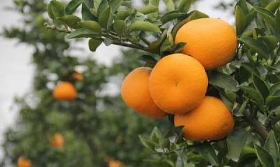 【柑橘】四季种植管理技术总结,秋季一般为柑橘的膨果期