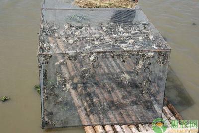 螃蟹养殖新技巧!今年蟹价不景气?养殖户来年的赚钱之道来了