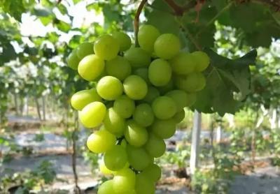 【葡萄】种植阳光玫瑰需要注意的问题汇总!这些都是关键点