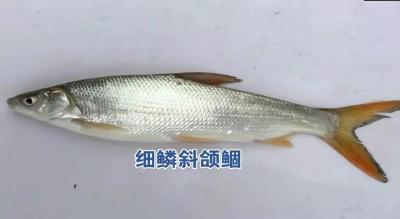 """四大家鱼套养""""沙姑子"""",又称""""环保鱼"""",每亩增收超千元"""