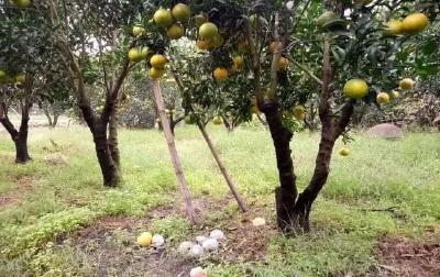 【柑橘】晚熟柑橘10-11月份管理要点
