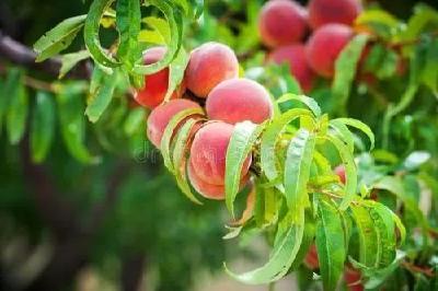 【桃树】秋季桃树管理技术要点!如何提高产量