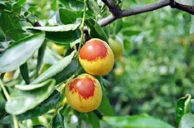【枣树】冬枣丰产四步走!修剪、防病、培肥、促花分化