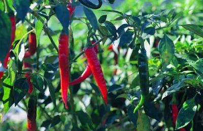 辣椒采收和保鲜的技巧知识!避免辣椒在贮藏中出现这些问题
