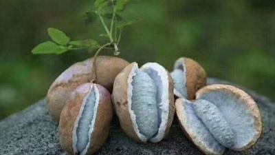 """外号叫""""土香蕉""""的野果子!一年只结一次果,一斤卖到20元!""""八月炸""""你吃过吗?"""