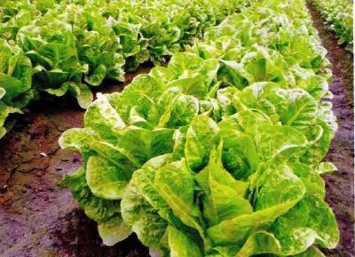 生菜常见的5种病虫害,掌握防治技巧,生菜卖相好,口感佳