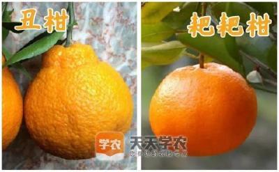 【柑橘】柑橘品种层出不穷,五步帮你判断新品种该不该种!