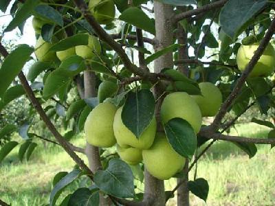 【梨树】香梨保鲜冷藏技术知多少?解决香梨贮藏保鲜势在必行