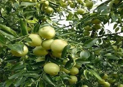【枣树】冬枣秋季施肥方案!重施有机肥和生物肥,稳磷控氮钾