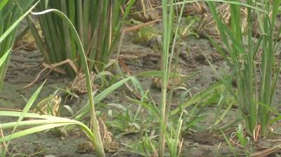 重磅!江西省农业农村厅发布:稻蛙共作技术列入2020年农业主推技术名单
