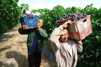【葡萄】葡萄采收后病虫害防治莫忽视!重点防治霜霉病、褐斑病