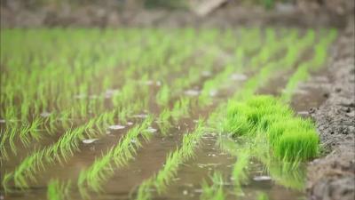 湖北省种子管理局关于2018年湖北省水稻品种区试情况的通报