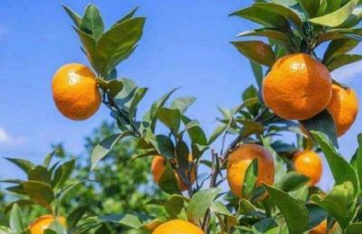 【柑橘】种植柑橘,柑橘砧木品种嫁接后的特性表现,不同品种不一样