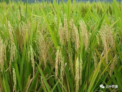 水稻害虫多?掌握着五点,让你培育出优质水稻!