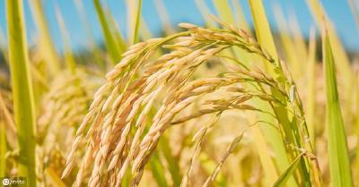 10月11日全国部分区域稻谷价格行情