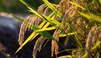 2019年11月06日 水稻价格行情