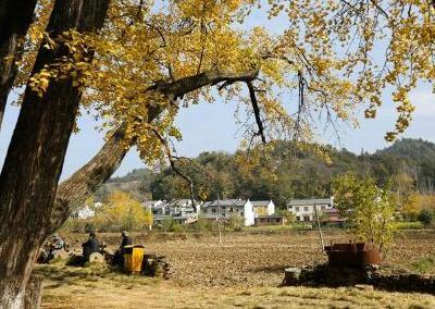 随州千余株古树挂牌保护 树龄300至499年,其中银杏占半数以上