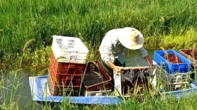 """湖北养殖热门""""小龙虾""""产量占全国一半,想提高收入,要顺势而变"""