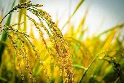 【基本持平】最新全国稻谷价格情况