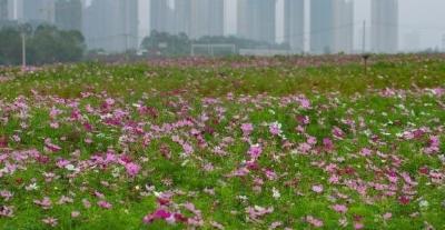 武汉380公顷的花田花海又开放了,快去欣赏美景吧