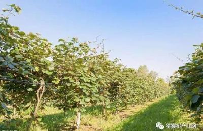 【猕猴桃】猕猴桃在入秋后,不要只忙着采收果实,还要注意这些事项