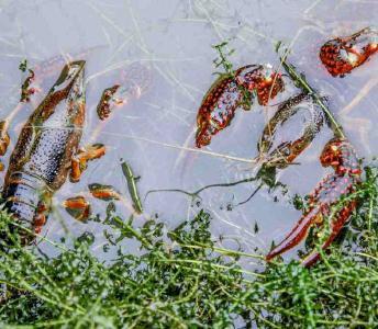 小龙虾养殖,一年之计在于冬,冬季小龙虾养殖技术